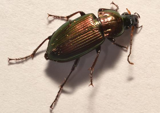 Carabidae ID - Poecilus chalcites