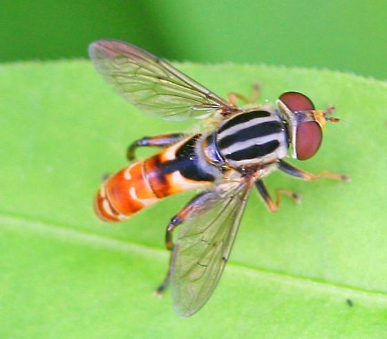 Syrphid fly - Lejops chrysostomus