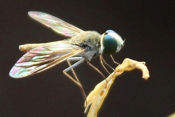 fly, green eyes - Desmatoneura argentifrons