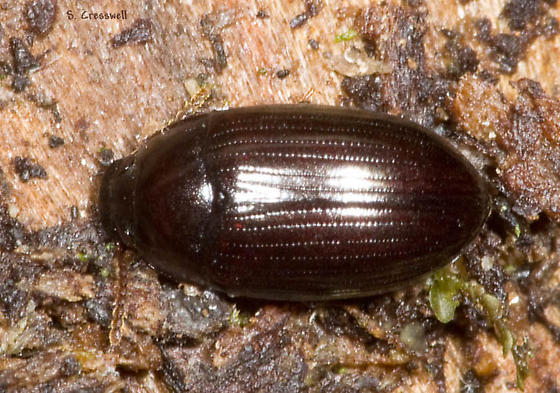 Under bark beetle - Platydema americanum