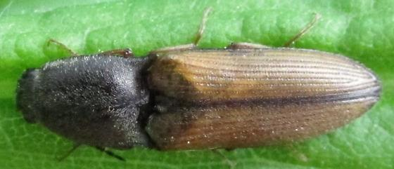 unknown elaterid - Corymbitodes tarsalis