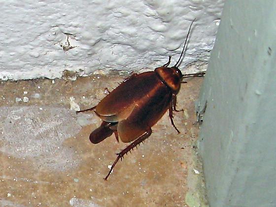 farmapest amerikan hamamböceği resimleri ile ilgili görsel sonucu