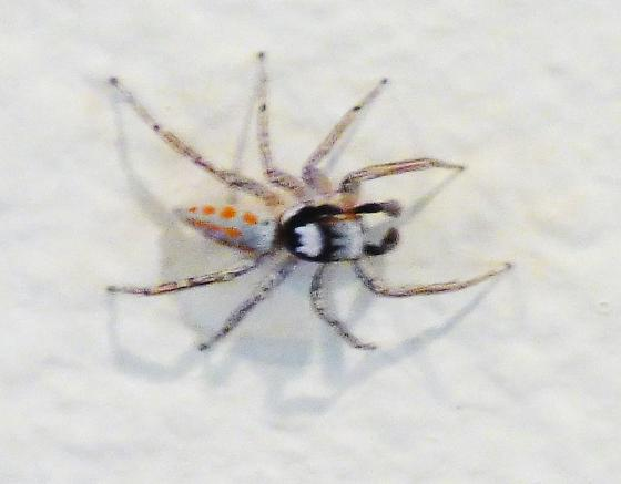 spider with red/orange dots - Paramaevia poultoni