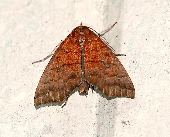 Rusicada privata -Hibiscus-leaf Caterpillar Moth - Rusicada privata