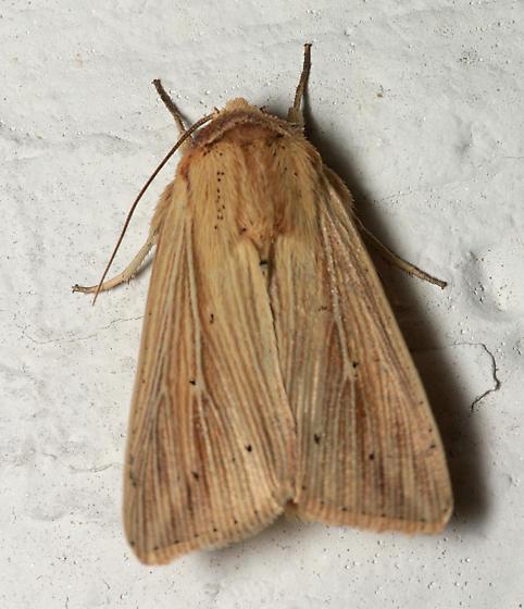 Moth for ID - Leucania