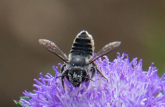 Leaf Cutter Bee? - Megachile