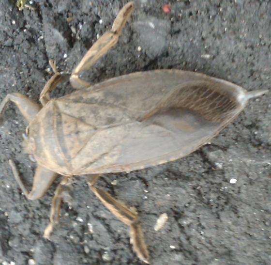 Beetle or roach? - Lethocerus americanus