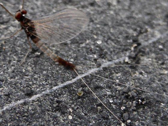 Clear Mayfly - Paraleptophlebia debilis