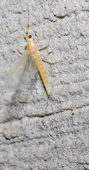 Dull orange mayfly - Anthopotamus neglectus