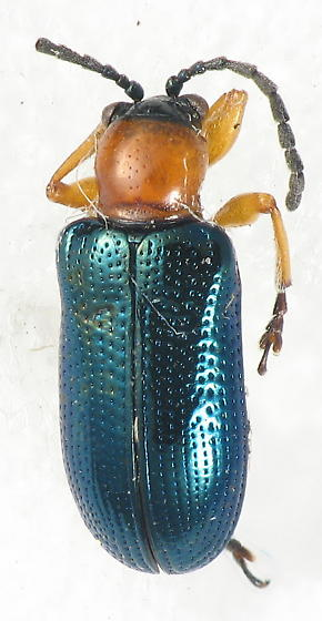 Car leaf beetle - Oulema melanopus