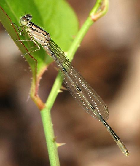 Familiar Bluet damselfly - Enallagma civile - male