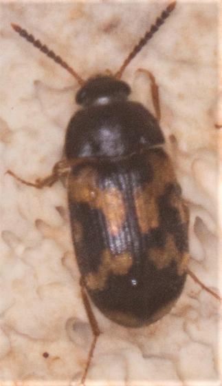 Mycetophagus flexuosus? - Mycetophagus flexuosus