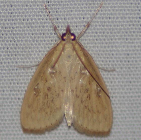 5296  – Daulia arizonensis??? - Crocidophora pustuliferalis
