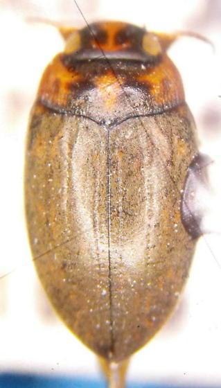 Stictotarsus aequinoctialis - Boreonectes aequinoctialis
