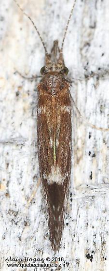 Ceraclea sp. (near C. resurgens) - Ceraclea - female