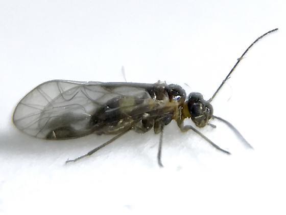Elipsocus pumilis