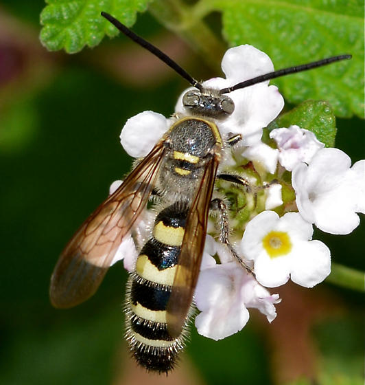 hymenoptera? - Dielis tolteca - male