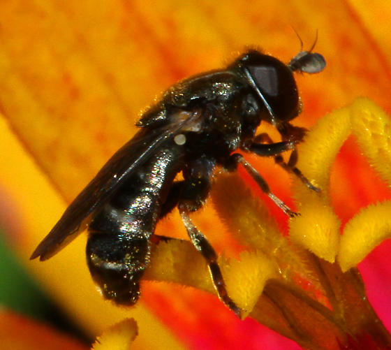 small Dipteran - Eumerus