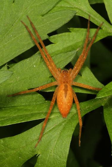 red Spider - Pisaurina mira