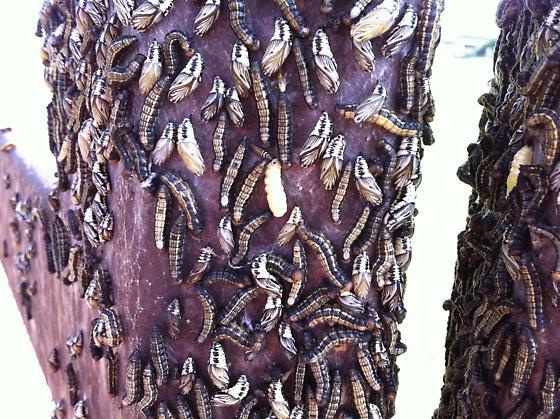 an amazing oak moth infestation  - Phryganidia californica