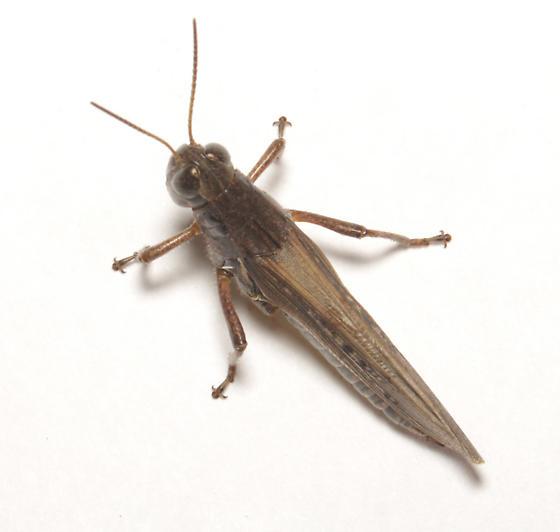 Acrididae, dorsal - Melanoplus femurrubrum - female