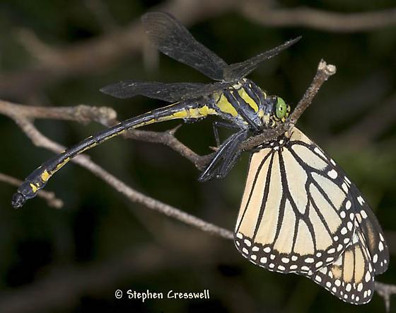 Dragonhunter Eating a Monarch - Hagenius brevistylus