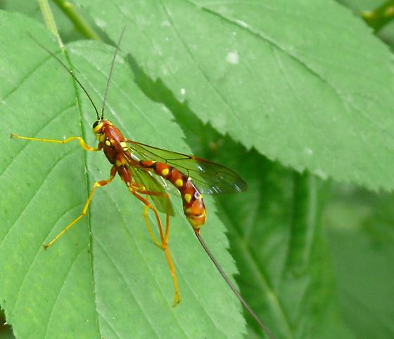 Beautifully colored insect with long tail/stinger-like thing! - Megarhyssa nortoni - female