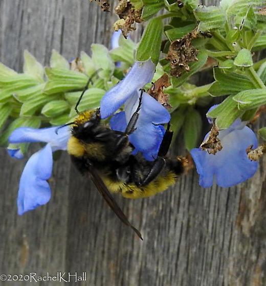 Bombus pensylvanicus feeding on Blue Sage - Bombus pensylvanicus