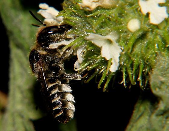 small and bee-like - Megachile rotundata - female