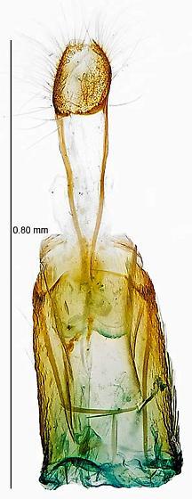 genitalia - Phyllonorycter propinquinella - female