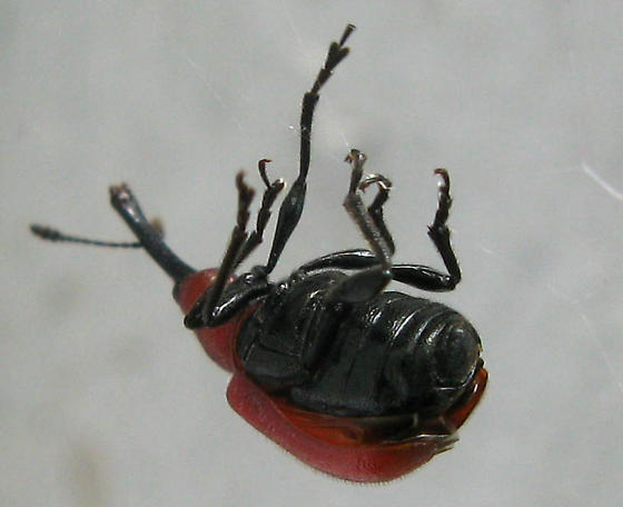 Rose Weevil caught in a web - Merhynchites bicolor
