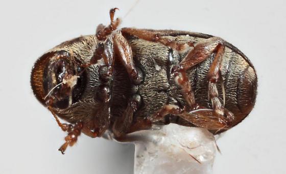 Anthribidae - Trigonorhinus sticticus