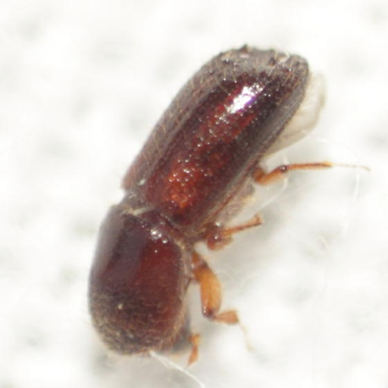 Scolytine 3 - Xyleborus bispinatus