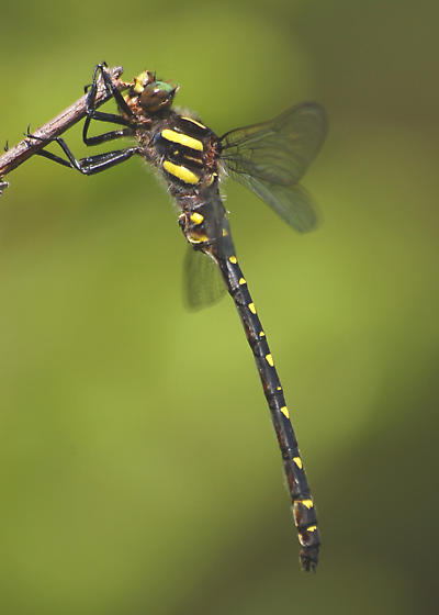male Twin-spotted Spiketail - Cordulegaster maculata - male