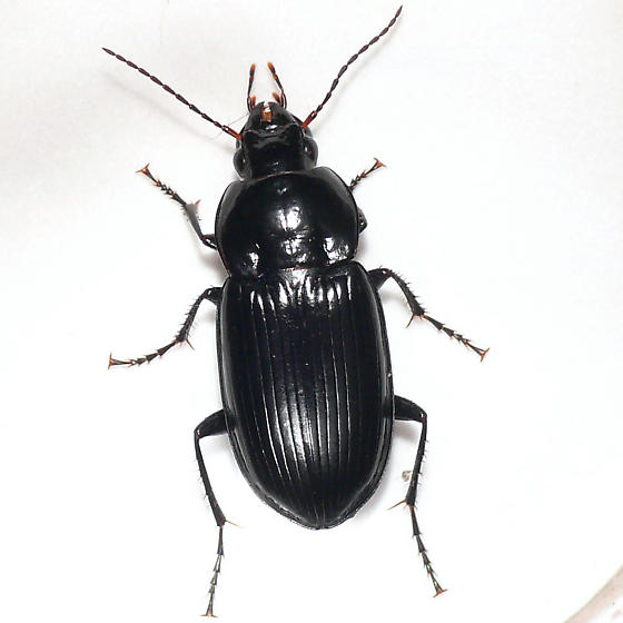 Ground beetle 10.06.15 - Diplocheila obtusa