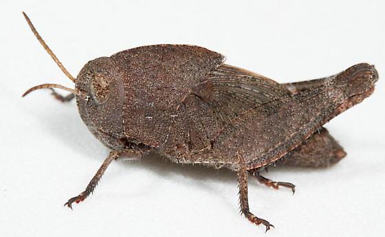 Dark hopper nymph - Arphia xanthoptera