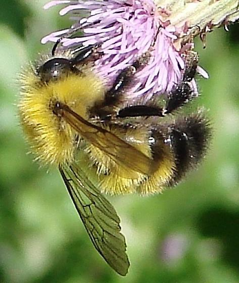 Bumble Bee - Bombus perplexus - male