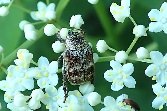 beetle - Hoplia
