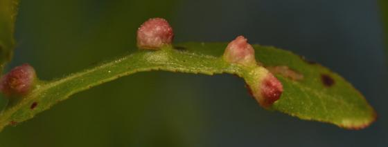 Galls on Willow