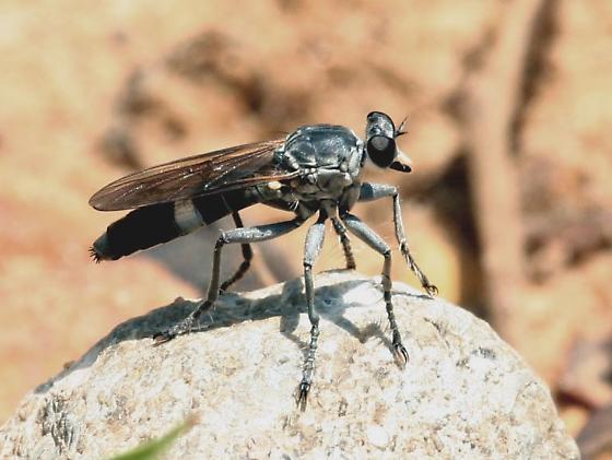 Robber Fly - Stichopogon trifasciatus - female