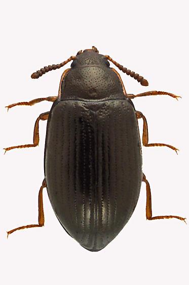 Darkling Beetle - Scaphidema aeneolum