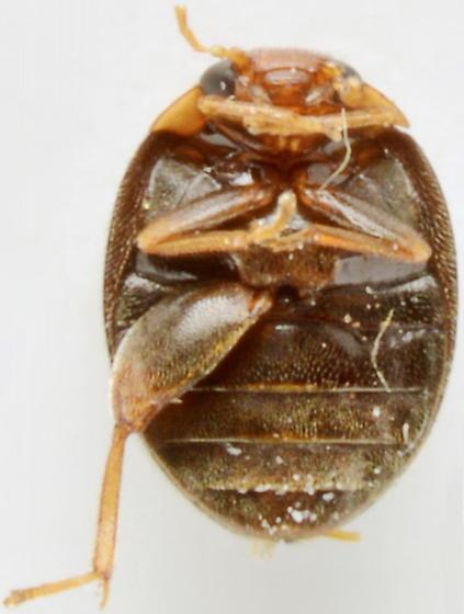 1125C02 - Scirtes orbiculatus
