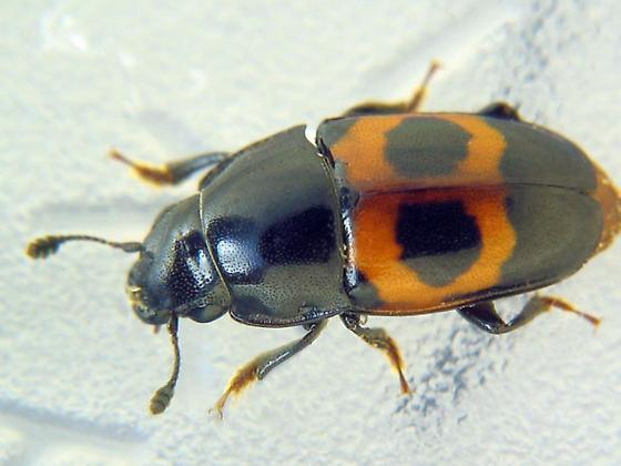 Bait-attracted sap beetle - Glischrochilus sanguinolentus