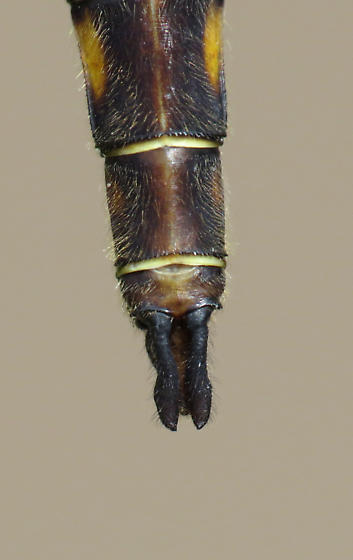 Broad-tailed Shadowdragon - Neurocordulia michaeli - male