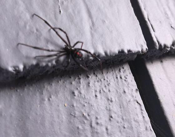 Black Widow Spider? - Latrodectus
