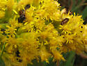 On goldenrod - Luperaltica nigripalpis