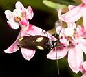 Four-spot Moth on Swamp Milkweed - Scythris sinensis