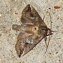 Moth observed 6-22-2019 10:20 pm southwest Hamilton County, Texas  - Elasmia