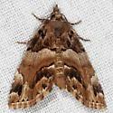 Distinguished Cypress Owlet Moth - Cutina distincta