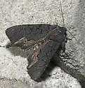 American Bird's-Wing Hodges#9560 - Dypterygia rozmani